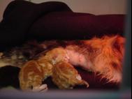 kittens-vaccinatie